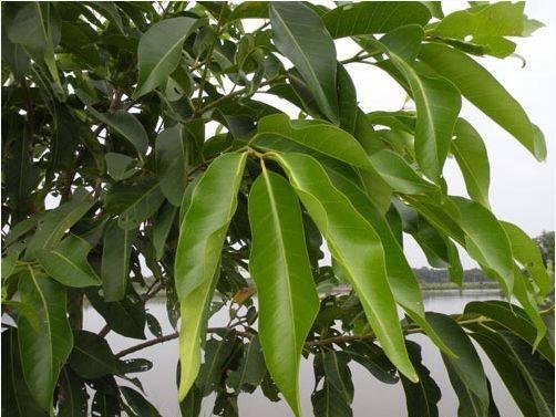 Lá cây vối - Vị thuốc hay chữa bệnh viêm đại tràng