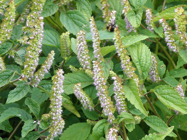 Hoa kinh giới - Thảo dược quý chữa bệnh viêm đại tràng