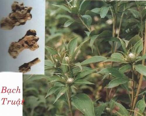 bach-truat-chua-viem-dai-trang1