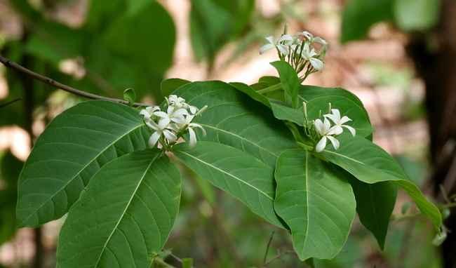 Mộc hoa trắng- cây thuốc nam chữa viêm đại tràng mãn tính có sẵn quanh nhà